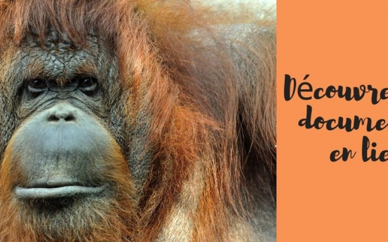 nenette orang outang menagerie 50 ans